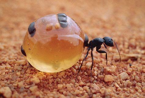 Galerie Photos - La fourmi pot de miel sur Futura-Sciences