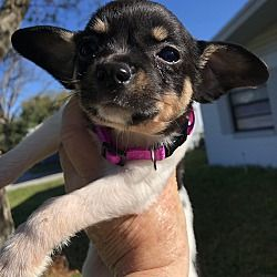 Orlando Florida Toy Fox Terrier Meet Amy A For Adoption Https Www Adoptapet Com Pet 27674886 Orlando Florida Toy Fox In 2020 With Images Fox Terrier Toy Fox Terriers Pets
