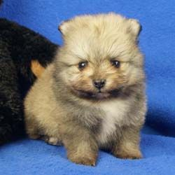 Available For Sale At Impressive Pomeranians Pomeranian Puppy Puppies Beautiful Dogs