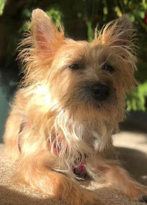 Col Potter Cairn Rescue Network 2019 Cairn Terrier Foster Mom