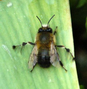 Picture Showing Drone Bee