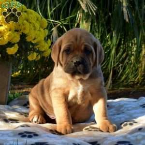 Cane Corso Puppies For Sale Cane Corso Dog Breed Info In 2020 Corso Dog Dog Breed Info Cane Corso Puppies