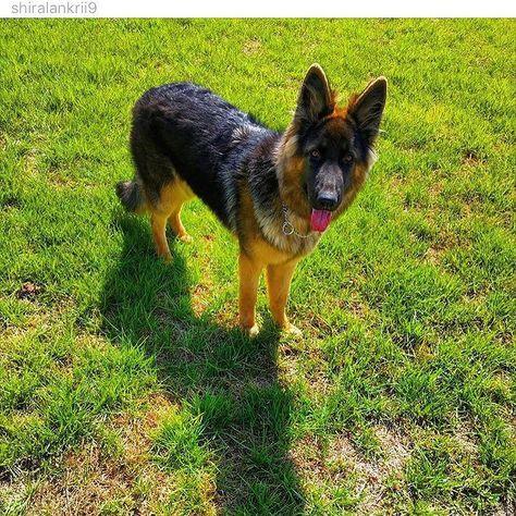 German Shepherd Fan Page - #gsd#germanshepherdsofinstagram #germanshepherdoftheworld #germanshepherd#dog#doggy#instadog #instapic#picoftheday #owczarekniemiecki #pies#k9#big#picoftheday #germanshepherdonline #germanshepherd4life #l4l#like4like #likeforlike #likeme#f4f#followforfollow #follow4follow #followme by germanshepherdfanpage