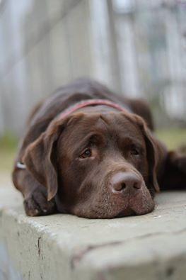 Labrador Retriever Schokolade Labrador Retriever Schwarzer