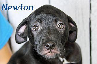 Joliet Il Boxer Labrador Retriever Mix Meet Newton A Puppy
