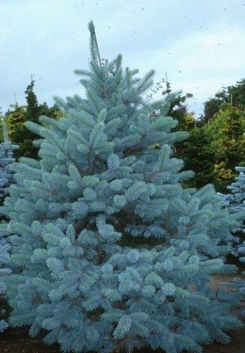Swierk Srebrny Kaibab Srebrzysty Rozowe Szyszki 7748331794 Allegro Pl Plants