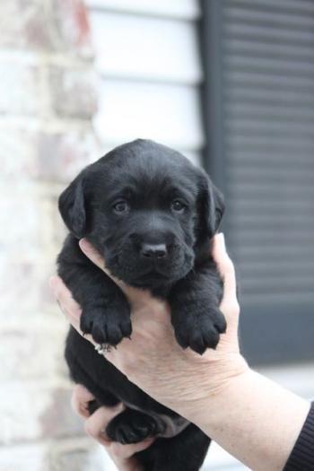 Back Labrador Retriever puppies for sale NY