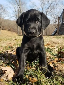 Labrador Retriever Puppy For Sale In Ava Mo Adn 56933 On Puppyfinder Com Gender Male Age 8 Weeks Old Labrador Retriever Black Labrador Puppy Labrador