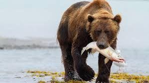 نتيجة بحث الصور عن صور عن حيوانات آكلات اللحوم والأعشاب Grizzly Bear Bear Cubs Bear Tracks