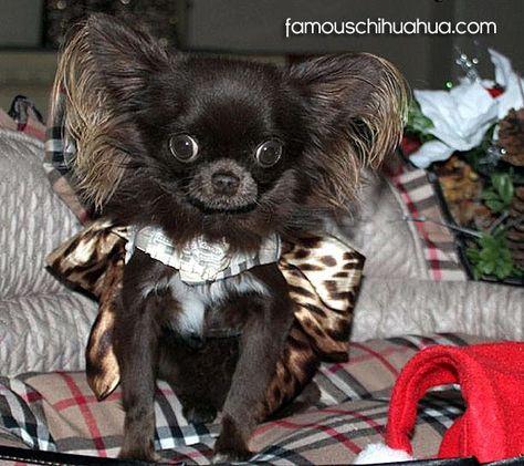 Kuzma The Famous Chihuahua Chihuahua Puppies Teacup Chihuahua