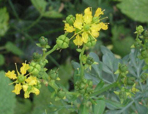 ما هي فوائد وأضرار عشبة الفيجن جي بي سي نيوز Herbs Natural Home Remedies Natural Medicine