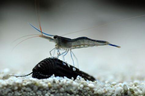 Sulawesi shrimp