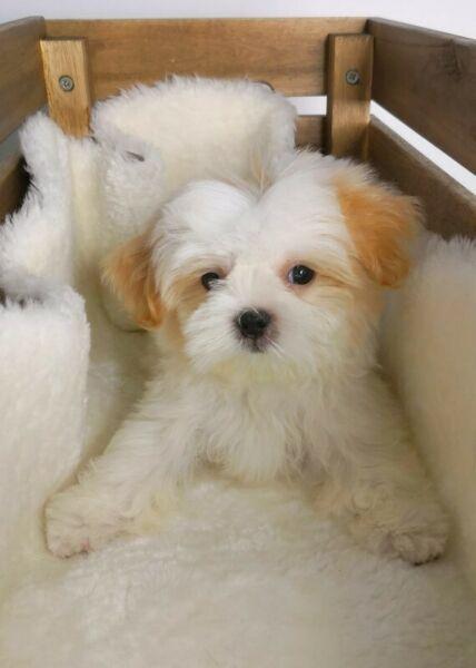 Golden White Shih Tzu Puppydog Info Source Local Hdb Approved