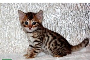 Savannah Cats Colorado Springs With Images Cute Baby Animals