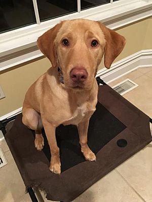 New York Ny Labrador Retriever Meet Wesley A Dog For Adoption