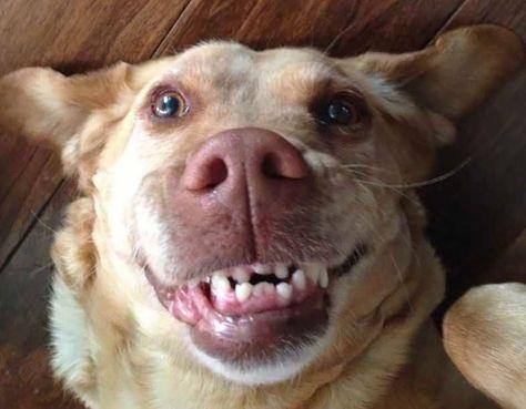 smiling dog - i need braces #smilingdogs #happydogs #funnydogs #smilingdogphotos #smilinganimals