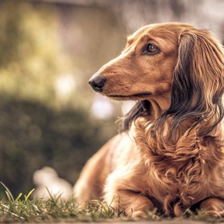 Eliminate Over 30 Common Behavioral Dachshund Issues Dackel