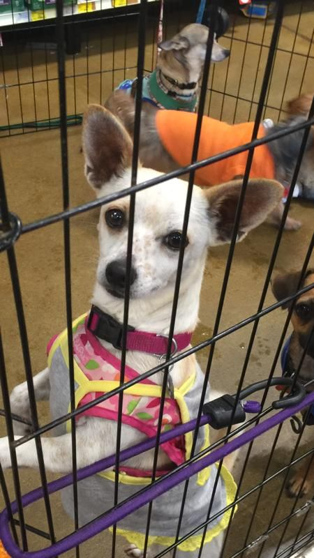 Gayweho Dogs 4 U On With Images Dogs Dog Adoption Chihuahua Love