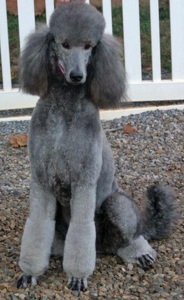Ruby Silver Beige Poodle Dog Standard Poodle Poodle