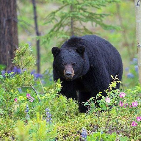 A gorgeous male black bear in wildflowers in the Yukon. By John E Marriott (@johnemarriott) on Instagram.