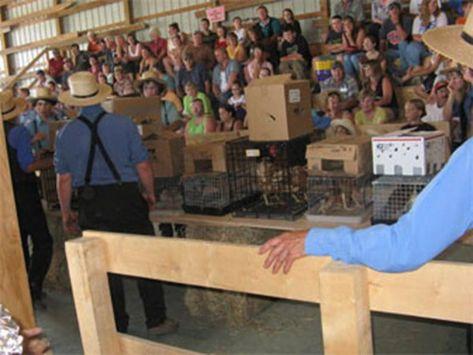 Amish Dog Auction