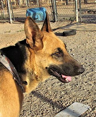San Tan Valley Az German Shepherd Dog Meet Maxie A Pet For