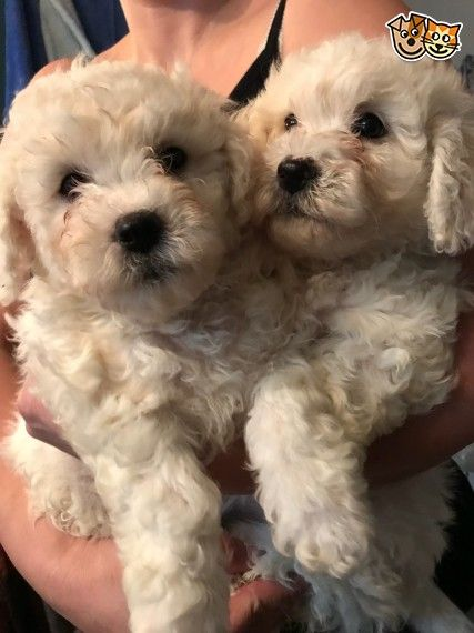 Bichon Frise Puppies Matlock Derbyshire Pets4homes Bichon