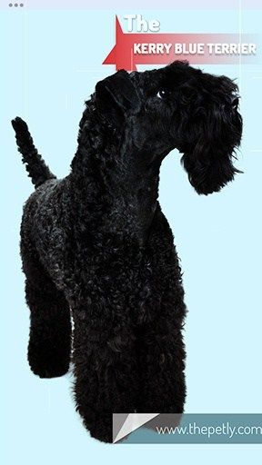 17 Dogs That Don T Shed Much Ultimate Guide For Dog Owners Hypoallergenic Dog Breed Dog Owners Kerry Blue Terrier
