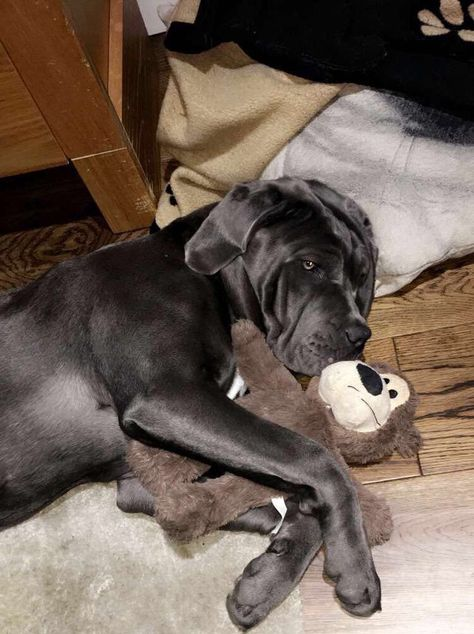 Pin By Anna On Cane Corso With Images Cane Corso Big Puppies Cane Corso Mastiff