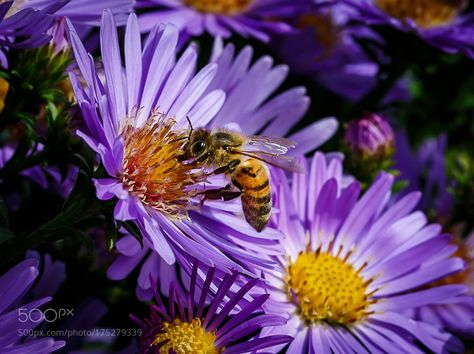 Backyard Bee 7 by rainier14411