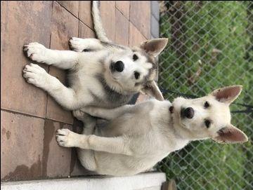 Gerberian Shepsky Mix Puppy For Sale In Jersey City Nj Adn 36855