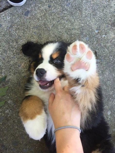 Great Pic bernese mountain dogs puppy Style More than ages, a Bernese Pile Dog is really a building block connected with park existence around Swit Cute Funny Animals, Cute Baby Animals, Funny Dogs, Funny Puppies, Big Animals, Cute Dogs And Puppies, Pet Dogs, Doggies, Baby Dogs