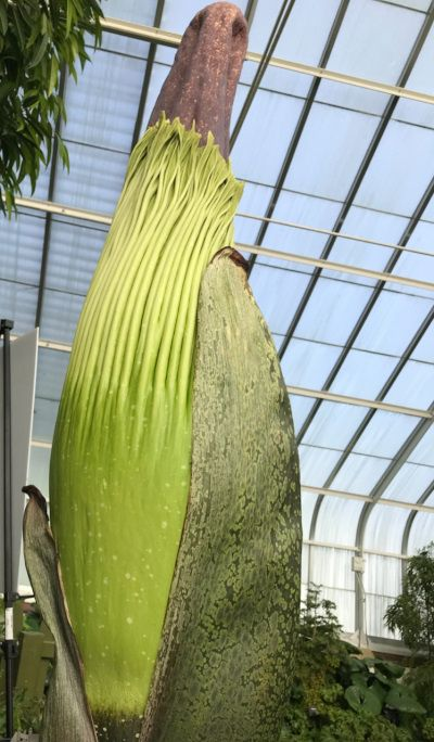 Fester A Stinky Corpse Flower Is Ready To Bloom At The Buffalo And Erie County Botanical Gardens It May Grow Bi Garden Pictures Pretty Gardens Corpse Flower