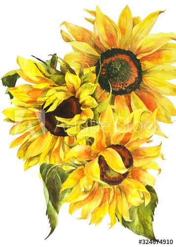 Watercolor Sunflower Hand Painted Floral Stock Illustration