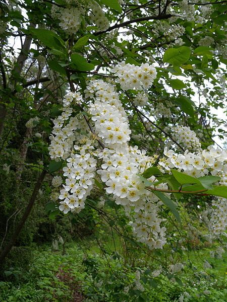 100 Tree With White Flowers That Smell Good With Images White