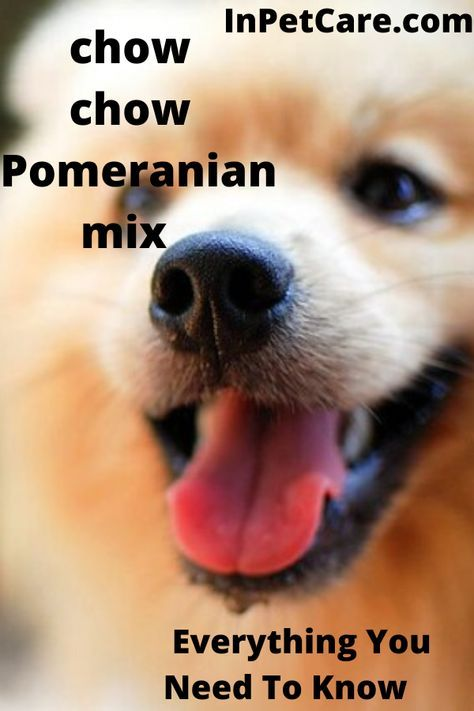 The Size Temperament And Looks Of Your Chow Chow Mix Will Depend On Which Of His Parents He Mos Pomeranian Mix Pomeranian Mix Puppies Pomeranian Puppy For Sale