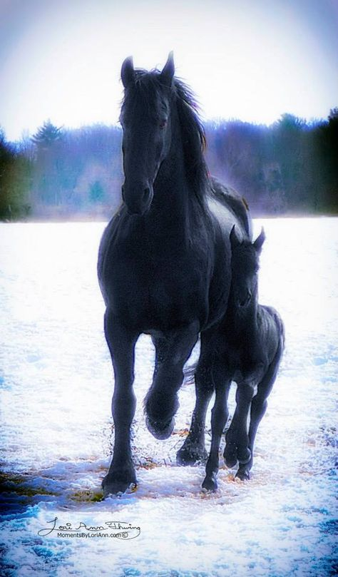 Equine photography - Friesian horse - photo by Moments by Lori Ann