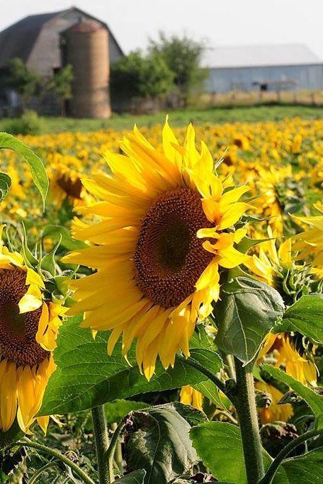 The 11 Most Beautiful Sunflower Fields From Across The Country In 2020 Sunflower Fields Wonderful Flowers Sunflower Field Near Me
