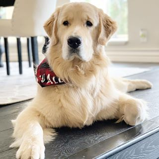 What A Beauty Big Puppies Golden Retriever Baby Puppies