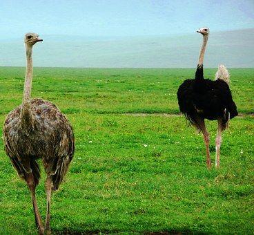 El Avestruz De La Familia Struthionidae Las Aves Exoticas Del Mundo Aves Exoticas Del Mundo Avestruces Aves Exoticas