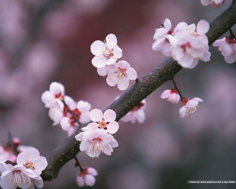 23 Free Flower Wallpapers To Brighten Your Day Cherry Blossom Flowers Cherry Blossom Symbolism Japanese Cherry Blossom