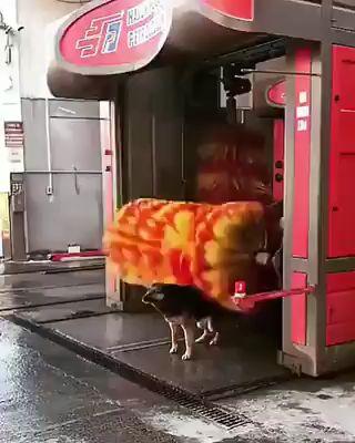 Street Dog Uses Car Wash for Back Rubs!