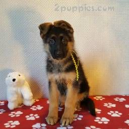 Find Your Dream Puppy Of The Right Dog Breed At German Shepherd