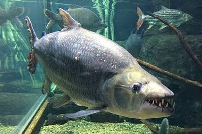 Inilah Jenis Jenis Ikan Predator Air Tawar Yang Perlu Anda Ketahui Di 2020 Ikan Gambar