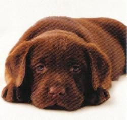 Chocolate Lab- i really want one!