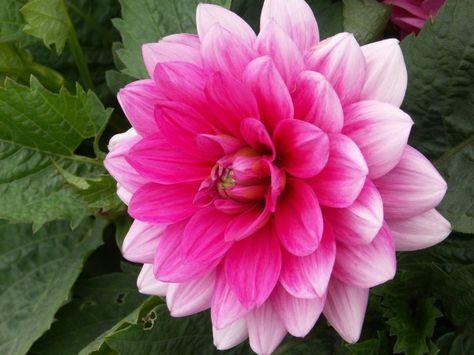 Bluesette Dwarf Pink Decorative With Images Dahlias Garden Herbaceous Perennials Dahlia