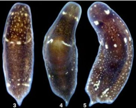10 Best Phylum Platyhelminthes Images On Pinterest Worms Sea Slug