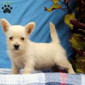 Westiepoo Puppies For Sale Westiepoo Breed Info Greenfield