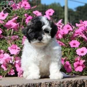 Maltipoo Puppies For Sale Maltipoo Breed Profile Maltipoo Puppy Maltipoo Puppies For Sale Maltipoo