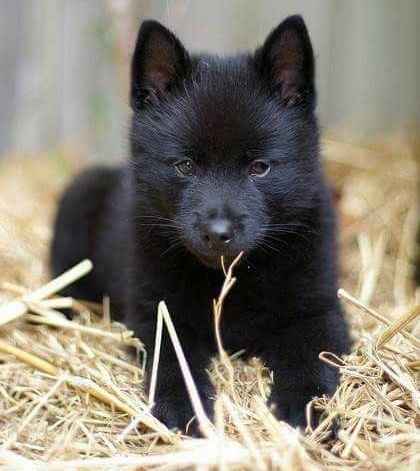 Black Puppy Wolf Credi Wolf Hybrid Puppies Wolf